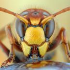 """Tosi """"Szerszeń"""" (2008-08-26 20:38:45) komentarzy: 89, ostatni: National Geografic oczekuje czegoś więcej od zdjecia niż tylko zbliżenie owada. uprzedzając pytanie czego oczekuje NG pooglądaj czasopismo :)"""
