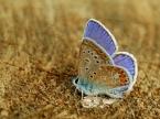 """ryniu """"Modraszek ikar Polyommatus icarus"""" (2008-08-29 13:13:09) komentarzy: 15, ostatni: piękny okaz"""