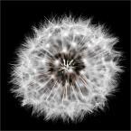 """fifka """"Dmuchawce latawce wiatr"""" (2008-09-06 17:43:12) komentarzy: 7, ostatni: jest czadowe !!!!!!!!!!!!!!!!!!!!!!!!!!!! aż chce się nosa posmyrać"""
