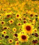 """Romek P. PISZ """"Słoneczka"""" (2008-09-23 23:32:16) komentarzy: 19, ostatni: Bardzo dużo słoneczek..."""