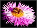 """izucha1974 """"Pszczółka Maja"""" (2008-09-30 21:02:29) komentarzy: 3, ostatni: Może troche prześwietlone - fakt, ale podoba się, ostro, ładnie skomponowane."""