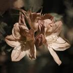 """Żaba-Ewa """"Azalia"""" (2008-10-05 16:21:47) komentarzy: 10, ostatni: malarsko..pięknie :)"""