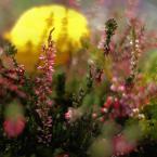 """Kozia """"Jak październik z wrzosami tańczył..."""" (2008-10-31 20:24:24) komentarzy: 97, ostatni: Piękne, malownicze wrzosowisko :)  Pozdr."""