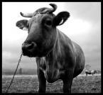"""pawello91 """"Dwu noga krowa :)"""" (2008-10-31 21:23:22) komentarzy: 25, ostatni: i gdyby tylko były kopytka to byłoby super"""