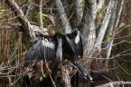 """SylwesterZ """"Ptaki Everglades - Anhinga"""" (2008-11-15 00:24:49) komentarzy: 3, ostatni: Piękna... - pozdrawiam"""