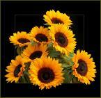 """E.K. """"Słoneczniki."""" (2008-11-15 23:23:46) komentarzy: 74, ostatni: moje ukochane:)))"""
