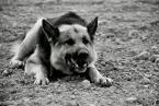 """Adaś. """"dziki"""" (2009-01-04 17:34:54) komentarzy: 17, ostatni: super portret! Pies wcale nie jest zły - nie ma uniesionej górnej wary, poprostu paszcza mu się uśmiecha do zabawy. I łapy rozpostarte raczej w geście uległości:)"""