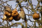 """jasawa """"Łakomczuchy dwa..."""" (2009-01-11 19:04:57) komentarzy: 1, ostatni: kapitalnie złapane! wykadrowałabym bez tego jabłka po prawej. pozdr"""