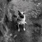 """witas """"lancuchowego psa portret"""" (2009-01-14 17:40:52) komentarzy: 12, ostatni: nie wyglada na nieszczesliwego. smieszne ma lapy. takie palczaste :) ogolnie piekny portret."""