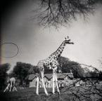 """Lleika """""""" (2009-02-03 21:07:38) komentarzy: 37, ostatni: o żyrafie .... takie aż :)"""