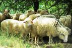 """Maciek Froński """"Milczenie owiec - wersja poprawiona"""" (2009-02-19 09:09:02) komentarzy: 1, ostatni: chyba nie schroniły się za bardzo przed słońcem (opis), bo słońce przepaliło fotę na maxa... resztę zgodnie z tytułem przemilczę... pozdr."""