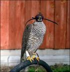 """irmi """""""" (2009-03-19 00:19:58) komentarzy: 7, ostatni: z wnykiem łapa ptaka nie miałaby szans... tą chorobę może spowodować m.in. złe siedzisko dla ptaka, poprzez otawrte rany. Pozdrawiam :)"""