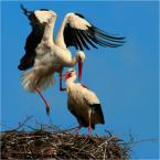 """krys_art """"Zaloty"""" (2009-04-13 20:41:46) komentarzy: 44, ostatni: myslalam ze bociany sa delikatniejsz w swych zalotach ;)"""
