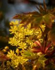 """Tadek Piotrowski """"Kwiatki klonu"""" (2009-04-25 06:18:08) komentarzy: 13, ostatni: ładne kolorystycznie"""