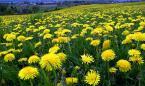 """andrzejbur """"rzepakowy krajobraz..."""" (2009-04-26 21:58:04) komentarzy: 10, ostatni: Dzieki za komentarze , tytul to oczywiscie zart..,pozdrawiam"""