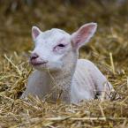 "zynov ""Lambing Season at Bendalls Farm"" (2009-04-27 19:57:03) komentarzy: 1, ostatni: ładny  maluszek ."