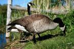 """petermurphy """"bernikle kanadyjskie"""" (2009-05-21 01:57:07) komentarzy: 3, ostatni: Czy to hodowlany ptak?"""