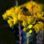 """beige """"..."""" (2009-07-01 19:45:24) komentarzy: 5, ostatni: ładnie sie prezentują te żółciutkie pączki :)"""