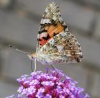"""znosna """"motylek"""" (2009-07-31 19:30:08) komentarzy: 0, ostatni:"""