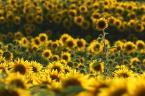 """Kozia """"Słoneczny Guliwer"""" (2009-08-30 20:46:48) komentarzy: 77, ostatni: :D"""