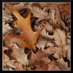 """popo007 """"W żółtych płomieniach liści..."""" (2009-11-06 21:37:43) komentarzy: 6, ostatni: Fajna jesienność, nawet jeśli to klasyczne podejście do tematu. Pozdrawiam."""