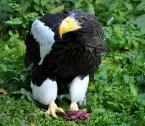 """yoru-maciejek """"Bielik"""" (2009-11-11 20:26:38) komentarzy: 4, ostatni: świetna ostrość, rewelacyjnie ujęte  bystre i groźne spojrzenie ptaka"""