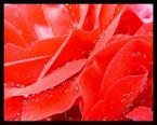 """tryksa """"róża"""" (2009-12-05 19:18:35) komentarzy: 0, ostatni:"""