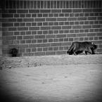 """Carlos Gustaffo """"kot z kadru uciekający"""" (2009-12-12 18:54:20) komentarzy: 3, ostatni: kot prawdziwy ma już tak iż z kadru ucieka szczególnie jak to kot podwórkowy ;)"""