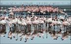 "Ryszard  Stasiewicz ""Flamingi z Lake Nakuru"" (2010-03-01 19:43:23) komentarzy: 9, ostatni: dobre"