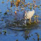 """SylwesterZ """"Czapla śniada"""" (2010-03-04 21:05:16) komentarzy: 4, ostatni: z pomostu... 1,5m nad wodą..."""