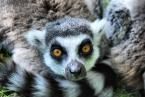 "anuś... ;) ""Lemur"" (2010-05-26 09:09:57) komentarzy: 3, ostatni: król Julian :)) fajny"