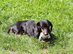 """cymbalki """"rrrrrRRR"""" (2010-05-28 11:29:58) komentarzy: 7, ostatni: rada na przyszłość. Jak robisz tego typu zdjęcie to zniż się do wielkości psa. Tak jak robi się portret, aparat na wysokości oczu psa lub niżej. W tym przypadku powinno się połozyć. A co jeszcze, lepiej by było gdyś uchwicił sam przód , głowę..."""