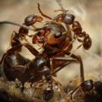 """BigBadWolf """"nec Hercules contra plures"""" (2010-06-12 22:21:37) komentarzy: 22, ostatni: po obejrzeniu Twoich mrówek wracam do siebie do galerii i usuwam zdjęcie... ech może sobie kiedyś lepsze szkło nabędę"""