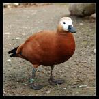 """popo007 """"duck"""" (2010-06-24 15:58:31) komentarzy: 31, ostatni: świetna...."""