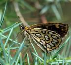 """Adam Pol """"Motyle ciernistych krzewów"""" (2010-08-24 19:57:22) komentarzy: 4, ostatni: To chyba Rojnik Morfeusz (Heteropterus morpheus) - nie taki znowu częsty motyl - zazdraszczam spotkania i witam po przerwie :))))"""