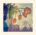 """konradmaciej """"Zwiędłe tulipany"""" (2010-09-19 23:52:44) komentarzy: 8, ostatni: ?"""