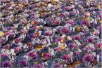 """Ralfik D """"Jesienne kwiaty"""" (2010-10-29 23:58:54) komentarzy: 2, ostatni: Nie kapusta.  Nie mam pojęcia jak się nazywają."""