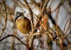 """amigamedia """"Kowalik"""" (2010-12-27 22:41:11) komentarzy: 5, ostatni: stanowczo za duzo w tle sie dzieje...  ale kowaliki lubia orzechy skruszone i slonecznik (luskany najbardziej :) ) wiec spokojnie mozna poprawic w lepiej dobranym srodowisku karmnikowym  :)"""