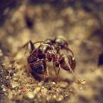 """BigBadWolf """"tango"""" (2011-03-14 22:26:03) komentarzy: 5, ostatni: Sławomir Rogowski [2011-03-14 22:42:03] Praktycznie każdy rodzaj mrówek ma odmienne obyczaje, jeśli wgłębić się w temat to nie raz są one zaskakujące. Polecam artykuł na temat powyższych. http://formicopedia.org/mrowki/Lasius_niger"""