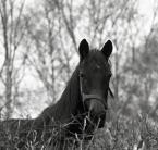 """KatrinS """"Roczniak"""" (2011-04-01 09:04:22) komentarzy: 3, ostatni: Długo czatowałam na ten kadr i na innego konia, ale trafił się taki, miałam takie ujęcie z żywopłotem Rubinarem , teraz dla urozmaicenia inny sprzęt."""