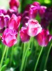 """hex """"tulipany xxx"""" (2011-05-07 20:36:10) komentarzy: 0, ostatni:"""