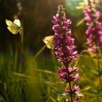 """Zeny """"z cyklu łąka"""" (2011-09-21 13:26:40) komentarzy: 94, ostatni: Delikatne, urokliwe światło... +++"""