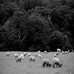 """f a b r o o """"SHEEP-FOLD"""" (2011-12-13 22:06:13) komentarzy: 52, ostatni: uwielbiam te owieczki, co z daleka wygladaja na polach jak białe kropeczki... :)"""
