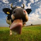 """Pabloxxxl """"Mućka."""" (2012-02-04 18:53:42) komentarzy: 54, ostatni: Hahaha, uwielbiam krowy.  Świetne zdjęcie! :)"""