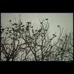 """ramumajana """"no! to lecimy..."""" (2012-02-21 22:37:25) komentarzy: 1, ostatni: Uwielbiam połączenie drzewa bez liści + ptaki, co daje wspaniałe zdjęcie :)"""