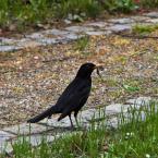 """Jerzy Sowa jr """"Kos"""" (2012-05-13 19:11:59) komentarzy: 6, ostatni: Wczoraj będąc w podróży spotkałam  podobnego, nie był jednak tak cierpliwym modelem jak Twój ... sprytnie przekupiłeś ptaszka :-)"""