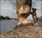 """Miras40 """"początki osadnictwa jamniko-bobrów w dolinie Gwdy"""" (2012-05-18 22:27:38) komentarzy: 127, ostatni: :))))"""