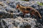 """Witoldhippie """"Hiszpańska lisica"""" (2012-06-20 07:41:03) komentarzy: 5, ostatni: gratuluję znakomitego efektu bezkrwawych łowów:)"""
