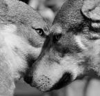 """myszok """"wilki dwa"""" (2012-09-29 22:11:00) komentarzy: 3, ostatni: Bardzo fajne."""