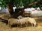 """Maciek Froński """"Owce"""" (2012-10-23 10:42:22) komentarzy: 2, ostatni: Nie, ale nadałyby się:)"""